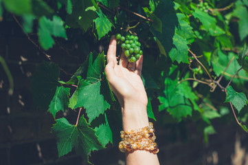 Female hand picking grapes