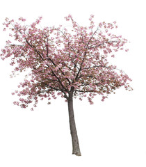 Isolated Cherry Blossom Tree