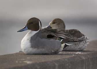 Pair of Northern Pintails