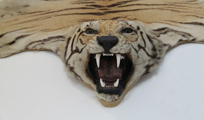 The Head and Skin of a Trophy Tiger Animal.