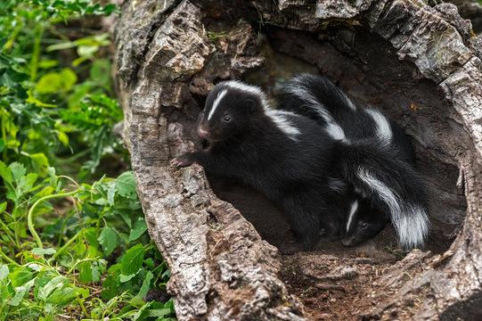 Two Baby Striped Skunks (Mephitis mephitis) in Log