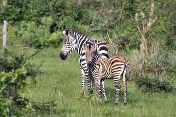 zebra and foal near lake mburu uganda