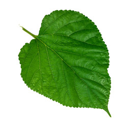 Mulberry leaf on white background