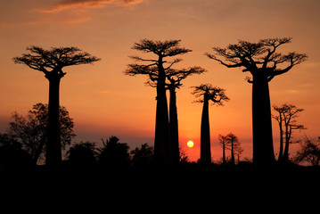 Printed roller blinds Baobab Baobabs in the sunset