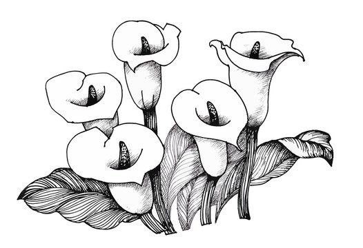 Calla lilly floral, black and white illustration background