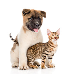 Japanese Akita inu puppy dog hugs little bengal cat. isolated on