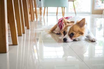 lonely chi hua hua dog