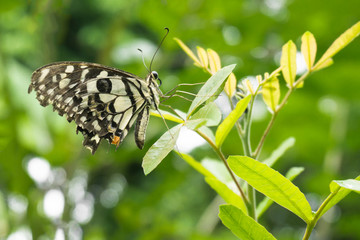 Black and white butterfly poised on tree.