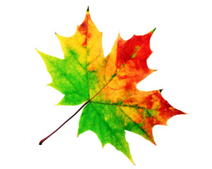 The autumn red-yellow maple leaf
