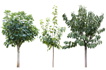 tree of fig, cherry and mulberry isolated on white