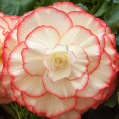 Begonia flower background