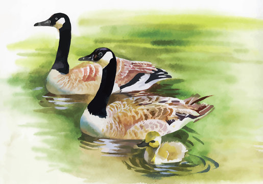 Three Ducks with black Necks.  Watercolor painting of three gray