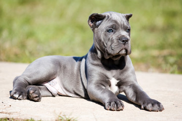 gray puppy Cane Corso on the grass