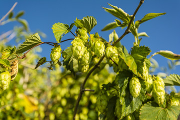 Humulus lupulus (common hop, hop)