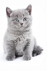 Fluffy gray kitten British (isolated on white)