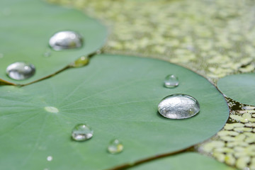 closed up water drop on green lotus  leaf