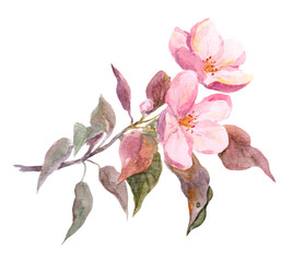 Pink apple tree flower. Watercolor hand painted drawing