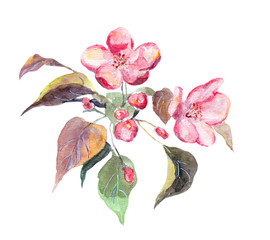Pink apple tree flower. Watercolor hand painted picture