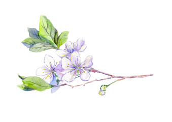 Blooming white cherry tree flowers, japanese sakura, watercolor