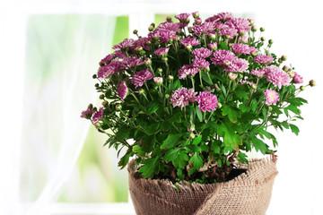 Beautiful purple chrysanthemum flowers on light curtains background