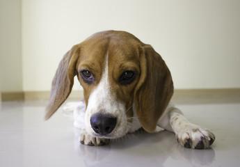 the cute beagle puppy dog