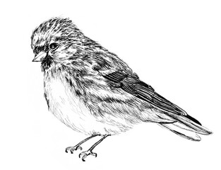 bird sketch illustration