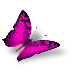 Beautiful flying pink butterfly, the classical of creature on wh
