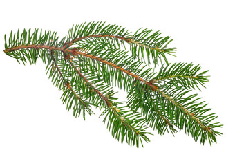 green small isolated fir branch