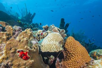 Riff + Koralle + Schwamm - Karibik