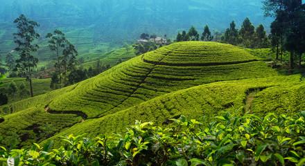 Tea plantation in up country near Nuwara Eliya, Sri Lanka Wall mural