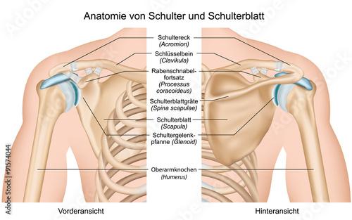 Anatomie von Schulter und Schulterblatt\