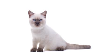 Beautiful stylish purebred british cat. Animal portrait. Purebred cat is lying. White background. Isolated
