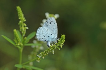 Eiablage des Faulbaumbläulings (Celastrina argiolus) an Weißem Steinklee (Melilotus albus)