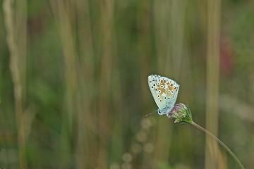 Silbergrüner Bläuling (Polyommatus coridon) auf Knospe der Wilden Möhre (Daucus carota)
