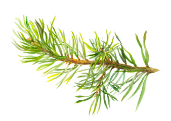Hand painted spruce branch, watercolor
