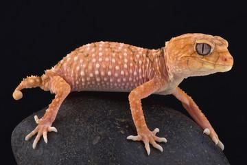 Wall Mural - Rough knob-tailed gecko (Nephrurus amyae)