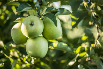 Group of Green Apples Hanging On Tree Branch