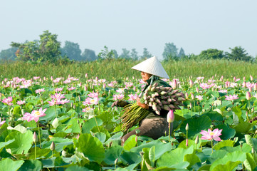 Farmers are harvesting the lotus in the field preparation for distribution, Mekong Delta, An Giang, VIetnam. A lotus for worship A symbol of purity and goodness in Buddhism.
