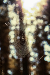 The spider sitting in the center of the web in the forest