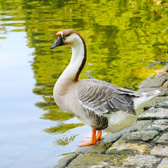 gray goose on the lake