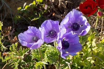 Some violet anemones