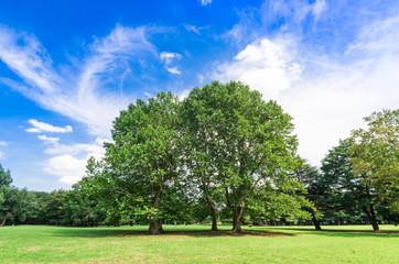 青空とプラタナスの木