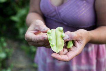 Fresh green peas held in their hands