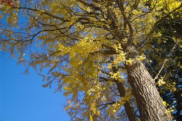 日本の秋のイメージ〜銀杏の木〜黄葉