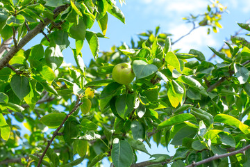 Green Apple on the tree