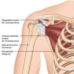 Anatomie Rotatorenmanschette, Schulter Vorderansicht