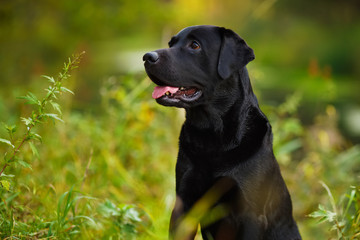 Black labrador sitting in the grass