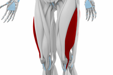 Vastus lateralis - Anatomy map muscles