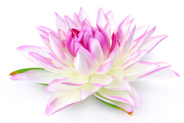 Lily pink isolated on white