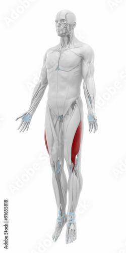 Vastus lateralis - Anatomy map muscles\